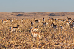 December 8, 2018 - Pronghorn herd in Morgan County. (Tony's Takes)