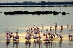 "___ all'imbrunire!! ""in explore"" (erman_53fotoclik) Tags: panasonik dmc tz25 fauna fenicotteri imbrunire riflesso stradadellevalli rosolina acqua erman53fotoclik natura deltadelpo flamingos"