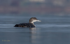 Common Loon (Eric_Z) Tags: commonloon loon surrey britishcolumbia canada blackiespit canoneos7dmkii ef100400mmf4556lisiiusm