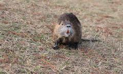 Say Cheese! (jodycoker1) Tags: nutria rodent shreveport louisiana wildlife urban rat coypus smile orange teeth nature