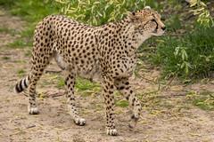 Central African Cheetah (Gareth Christian) Tags: acinonyxjubatussoemmeringii camera catsdogs cheetah chesterzoo d750 mammals nikon nikond750