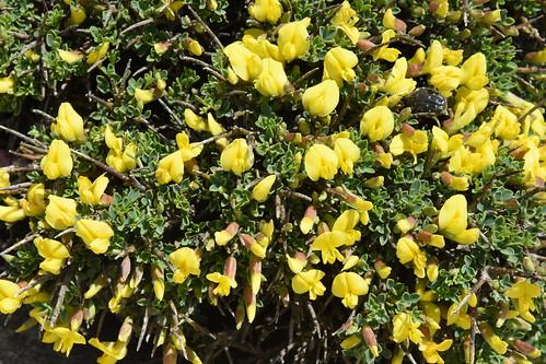 Chamaecytisus spinescens subsp. creticus
