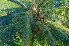 Green Coconuts on a Palm Tree (Merrillie) Tags: palm coconuttree coconuts tree nature palmfronds outdoors palmtree fruit cocos fiji green