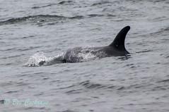 IMG_8550 (b_bev) Tags: montereybay monterey bay california usa wildlife sealife whales dolphins pelicans seals birdlife nature ocean sea