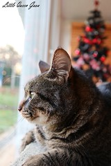 Behind The Window (Little Queen Gaou) Tags: cat chat cats chats window fenêtre home maison cosy christmas noël arbre tree family famille animal animals love amour friend ami photography photographie inspiration