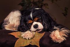 Autumn joy (Pepenera) Tags: dog dogs cane cani cavalier autumn foglie