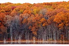 Ghost Forest (11 03 2018) (PhotoDocGVSU) Tags: pickerellake meijernaturepreserve autumn fall fallcolor autumn2018 westmichigan puremichigan endofseason canon5d3 sigma50500os bigma