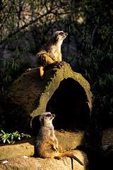 Erdmännchen (Michael Döring) Tags: gelsenkirchen bismarck zoomerlebniswelt zoo erdmännchen meerkats afs70200mm28g d800 michaeldöring