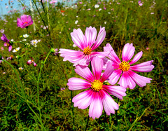 Cosmos flowers 波斯菊 (MelindaChan ^..^) Tags: 秋英 波斯菊 格桑花 china chanmelmel mel melinda melindachan flowers macro plant bokeh cosmos taishan 台山