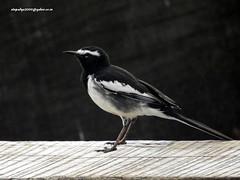 White-browed Wagtail (Motacilla maderaspatensis) (vlupadya) Tags: greatnature bird animal aves fauna indianbirds whitebrowed wagtail motacilla kundapura karnataka