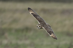 Quartering Short Eared Owl (Ade Ludlam) Tags: short eared owl raptor bird prey somerset wwt steart marshes nature wildlife nikon d7200 sigma sigma150600