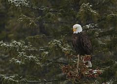 Bald Eagle...#2 (Guy Lichter Photography - 4.2M views Thank you) Tags: baldeagle canon 5d3 canada alberta banff bnp wildlife animals birds eagle eagles