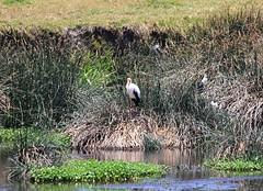 #cicogna #bird #ngorongoro #savannah #tanzania #africa #diQ2 #2018 #κνίδωση (solaika) Tags: bird ngorongoro savannah tanzania africa diq2 2018 κνίδωση cicogna becco giallo mycteria ibis