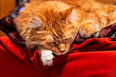 Tillman in the Office (Mitymous) Tags: cats fall2018 house mainecoons office theboys tillman wisconsin