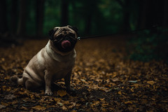 20181026-DSC00117 (ToxicTones) Tags: pug basil neigembos wood forest dog dogs sony alpha a7rii sonyalpha nature naturelover naturephotography naturelovers natureperfection natuur naturalframe mood moody autumn fall