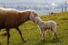 Imprinting materno... (silvano fabris) Tags: agnello pecore canon animals animali photonature nature
