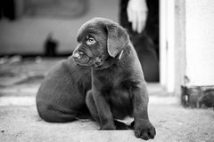 My little sweethart❤️ (ulrikmadsen403) Tags: analog analogue bnw blackandwhite bw dogs puppy pups minolta ilforddelta ilford labradors labrador
