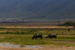 Cape Buffalo (Leif Hinrichsen) Tags: ngorongoro tanzania safari travel crater krater capebuffalo buffalo kaffernbüffel schwarzbüffel