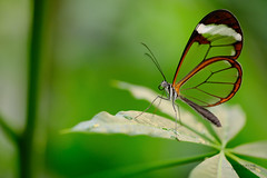 Vlinder (niekjuurlink) Tags: blauw macro vlinder vlinders kleur groen fujifilm xt2 80mm fujinon f28 butterfly dier dieren natuur animal animals