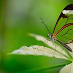 Vlinder thumbnail