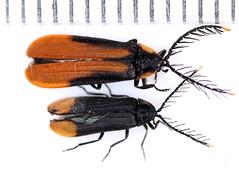 Psilocladus2018-11-16camp_4332c (mcclarinj) Tags: psilocladus lampyridae cosanga napo ecuador jimmcclarin