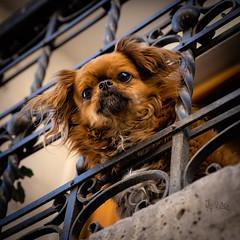2018 Beware (jeho75) Tags: sony ilce 7m2 zeiss dog peru guardian portrait south america südamerika arequipa small kleiner hund