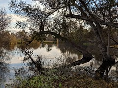 Arching over the pond (Kelson) Tags: madronamarsh marsh nature hike torrance california trees southbay plants pond