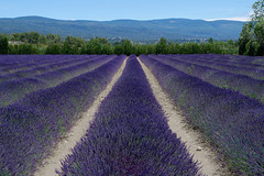 Current State of Afairs (Don César) Tags: provence lavender france francia europe europa lines lineas purple purpura violeta azul blue lavanda fields campos