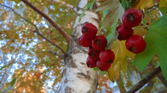 Autumn Macro 31 (rimasjank) Tags: berry red macro