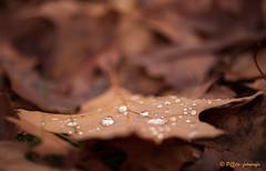 Rain drops (www.petje-fotografie.nl) Tags: wwwpetjefotografienl petjefotografie druppels herfst herfstkleuren bladeren blad arnhem gelderland schaarsbergen