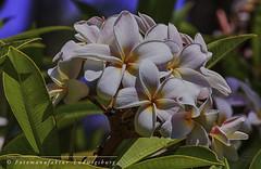 Blüten (Fotomanufaktur.lb) Tags: flower blume blüten schölkopf schoelkopf