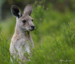 Kangaroo having lunch in the bushes... (photosbymk) Tags: kangaroo tasmania australia