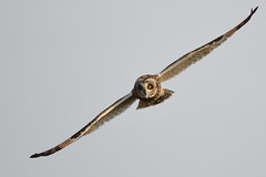 Short-eared Owl, North Norfolk 2 (JohnMannPhoto) Tags: shortearedowl northnorfolk
