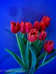 a Winter bunch (frederic.gombert) Tags: tulip flower bloom blossom red blue light color colors contrast macro plant