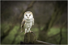 Barn Owl (Charles Connor) Tags: barnowl owls birdsofprey raptors naturephotography nature beautifuleyes eyes backgroundblur bokeh narrowdepthoffield largeaperture canondslr