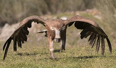 MRC_0577 Griffon Vulture (Explored) (Obsies) Tags: griffonvultures vulture buitres nature naturaleza nikon d500 200400vr monfrague wildlife buitreleonado
