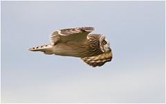 Short-eared Owl (Antony Ward) Tags: soe shortearedowl birdsinflight northeastengland