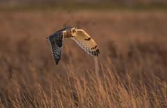 Short-Eared Owl-5291 (seandarcy2) Tags: owls shorteared owl fenland grassland cambs uk birds birdsofprey raptors handheld wildlife wild