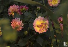 Sunset Light (rumimume) Tags: rumimume 2018 niagara ontario canada photo canon 80d outdoor day nature flower