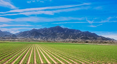 Young Lettuce Field (http://fineartamerica.com/profiles/robert-bales.ht) Tags: arizona farming forupload haybales landscape people photo places projects scenic states welton winterlettuce sunrise yellow mountains farm crop truckfarm lettuce agriculture farmphotography yuma imperialvalley southwest arizonaphotography panoramic sensational spectacular awesome magnificent peaceful inspirational robertbales sceniclandscapephotography green greetingcards farmlandscape rill iphone vegetable romaine head sonoradesert