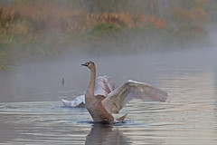 cygnet - Riverside Valley Park, Exeter, Devon - Sept 2018 (Dis da fi we) Tags: devon cygnet riverside valley park exeter water swan ripples mist wing beak wings river