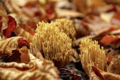 (charlottejarvis@live.co.uk) Tags: mushroom fungi chilterns forest woods marlow bucks uk