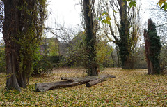 November 16th, 2018 Autumn (karenblakeman) Tags: hillsmeadow caversham uk trees poplar leaves autumn 2018 2018pad november reading berkshire