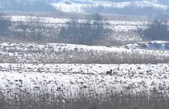 fox (fotografia.KarolinaKwiatkowska) Tags: mazury masuria mazurycudnatury mazurymojamilosc masuren mazurskaprzyroda lis nature natura naturelovers natur nofilter poland polen polska winter snow frost frozen zima mazurskazima