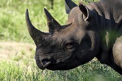 Black Rhino - South-Africa (Steven Goethals) Tags: africa southafrica black rhino wildlife kruger park endangered fujifilm xt2 animal mammal