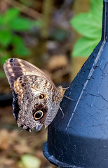 Owl Butterfly.. (mickb6265) Tags: whipsnadezoo zsl whipsnade dunstable owlbutterfly butterflyhouse