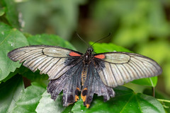 magicwings2019-43 (gtxjimmy) Tags: sonya7ii sony alpha a7ii butterflies butterfly insect bug magicwings deerfield massachusetts newengland