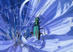 le musa 075 (Walwyn) Tags: coleoptera oedemera beetle cornflower