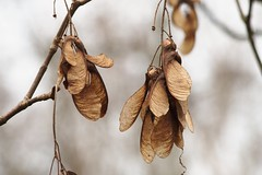 Geflügelte Frucht, Ahorn (photohml) Tags: frucht maple fruit ahorn photograf nature natura natur makro macro nahaufnahme olympus zuiko omd em5 mft