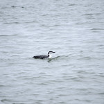 Common Loon (1) thumbnail